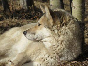 wolf dog, sanctuary